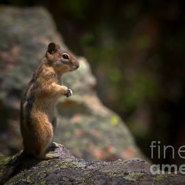 Christine Till - Golden Mantled Ground Squirrel Rocky Mountains Colorado