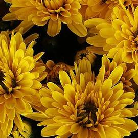 Bruce Bley - Golden Mums
