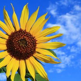 Shane Bechler - Golden Sunflower