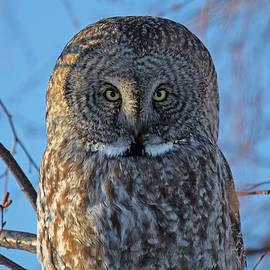 Sam Amato - Graceful Grey Owl