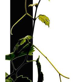 Xoanxo Cespon - Grapevine collage