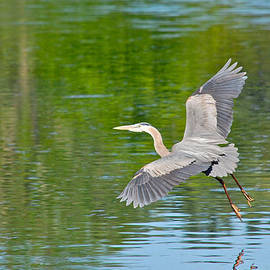 Mary McAvoy - Great Blue Heron - Where To Now