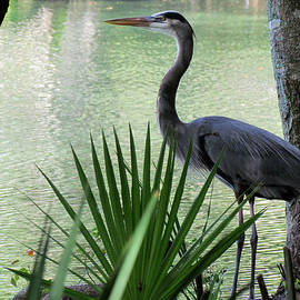 Judy Wanamaker - Great Blue Heron at Work