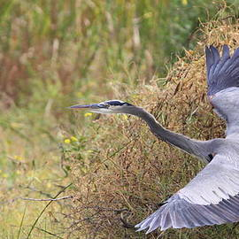 Travis Truelove - Great Blue Heron - Blue Angel