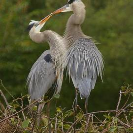 Myrna Bradshaw - Great Blue Heron Couple