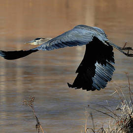 Paul Lyndon Phillips - Great Blue Heron Flight - c1287g