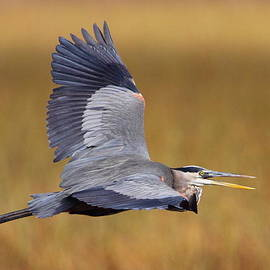 Bruce J Robinson - Great Blue Heron In Flight III