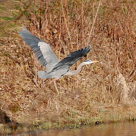 Mary McAvoy - Great Blue Heron in Flight