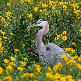 Myrna Bradshaw - Great Blue Heron in the flowers