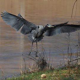 Paul Lyndon Phillips - Great Blue Heron Landing - c1266d