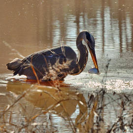 Paul Lyndon Phillips - Great Blue Heron Snagging Fish - c3266h