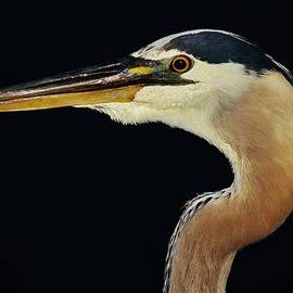 Paulette Thomas - Great Blue Heron Up Close
