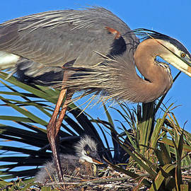 Larry Nieland - Great Blue Heron with chick
