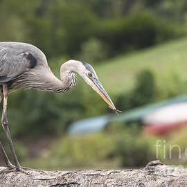 Ilene Hoffman - Great Blue Heron with Dragonfly in Mouth