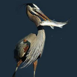 Paulette Thomas - Great Blue Heron with Fish
