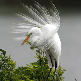 Doug Lloyd - Great Egret