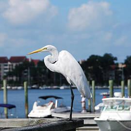 Margaret Palmer - Great Egret