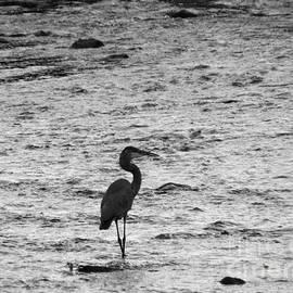 Darleen Stry - Great Grey Heron silhouette