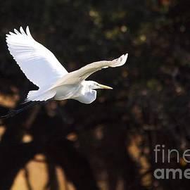 Roy Williams - Great White Egret Flight Series - 8