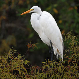 Juergen Roth - Great White Heron in Everglades NP