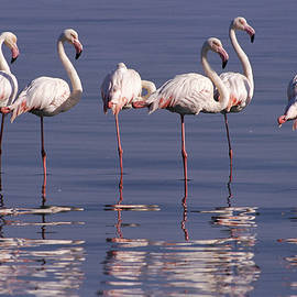 Michael and Patricia Fogden - Greater Flamingo Phoenicopterus Ruber
