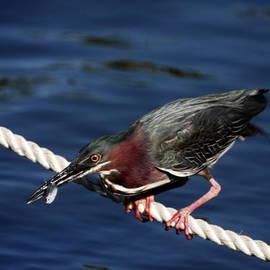 Sally Weigand - Green Heron Eating