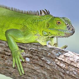 Patrick M Lynch - Green Iguana