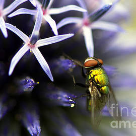 Sharon  Talson - Green Metallic Fly on Globe Thistle