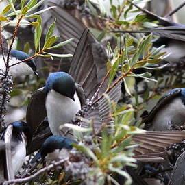 Travis Truelove - Grey Feathers - Tree Swallow