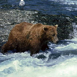 Sally Weigand - Grizzly Bear Fishing