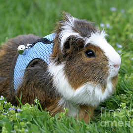 Deborah  Smith - Guinea Pig