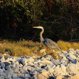 Al Powell Photography USA - Hard Rock Heron