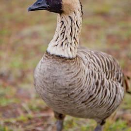 Denis Dore - Hawaiian Goose - Nene - Closeup - full body