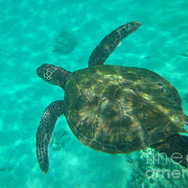 Sean Griffin - Hawaiian Green Sea Turtle