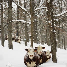 Matthew Parks - Herefords in the snow.