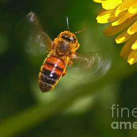 Mitch Shindelbower - Honey Bee In Flight.