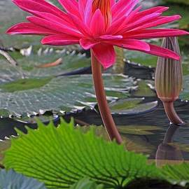 Larry Nieland - Hot Pink Waterlily