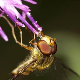 Darren Wilkes - Hover Fly