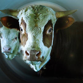 Colette V Hera  Guggenheim  - Howdi Holy Cows