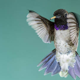 Ray Downs - Hummingbird Black-Chinned Male
