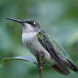 Sandy Keeton - Hummingbird Close-up