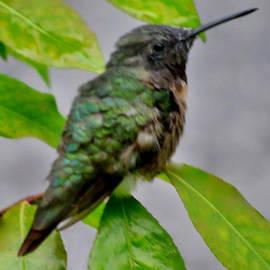 Debra     Vatalaro - Hummingbird Gem 4