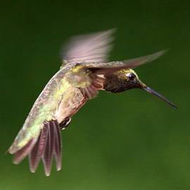 Travis Truelove - Hummingbird - Man in the Air
