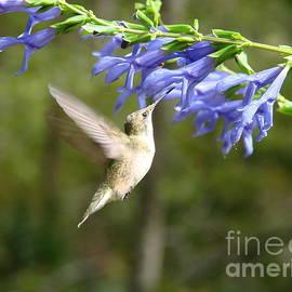 Mary Halpin - Hummingbird