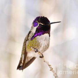 Rebecca Margraf - Hummingbird
