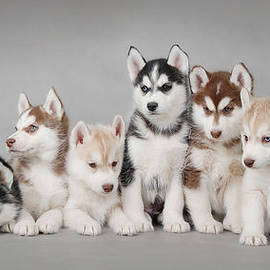 Waldek Dabrowski - Husky dog puppies