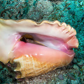 Inverted Conch