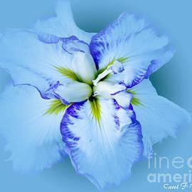 Carol F Austin - Iris in Blue