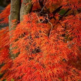 Onyonet  Photo Studios - Japanese Maple in Autumn