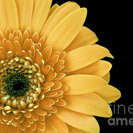 Inspired Nature Photography Fine Art Photography - Joyful Delight Gerber Daisy